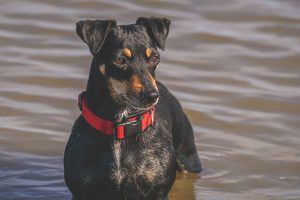 jack russel black and tan